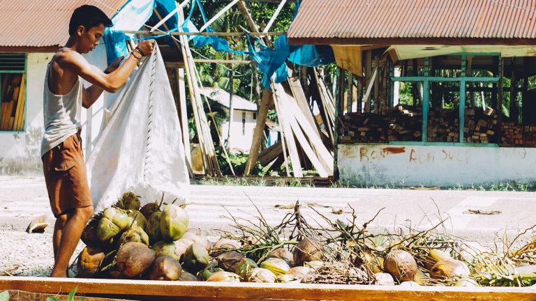 Harvesting coconuts on Nias