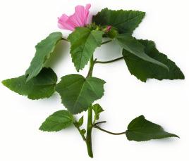 Marshmallow plant