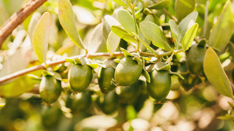Jojoba berries in Peru
