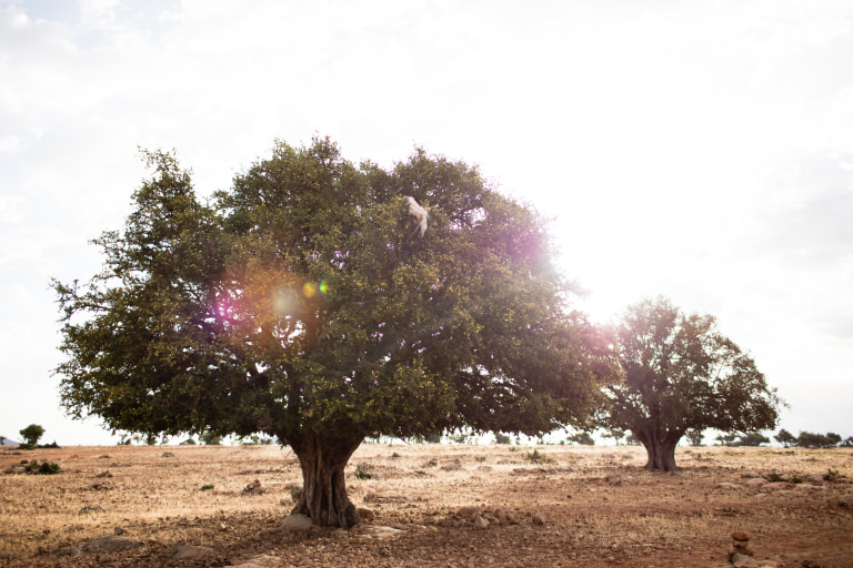The Argan Tree, produces the regenerative Argan fruit