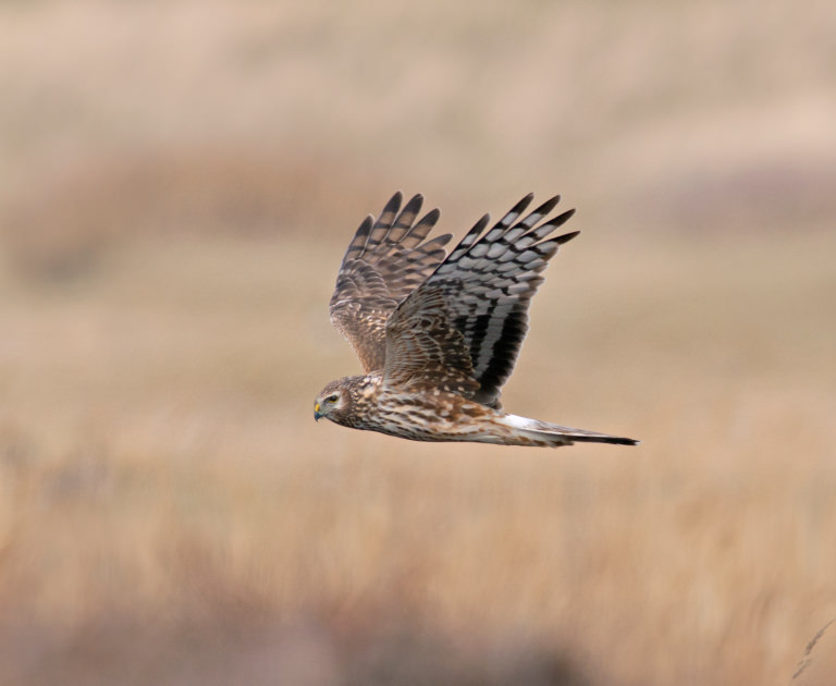 Hen Harrier Day Lush Campaign