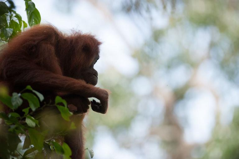 Orangutan -  photo by Andrew Walmsley