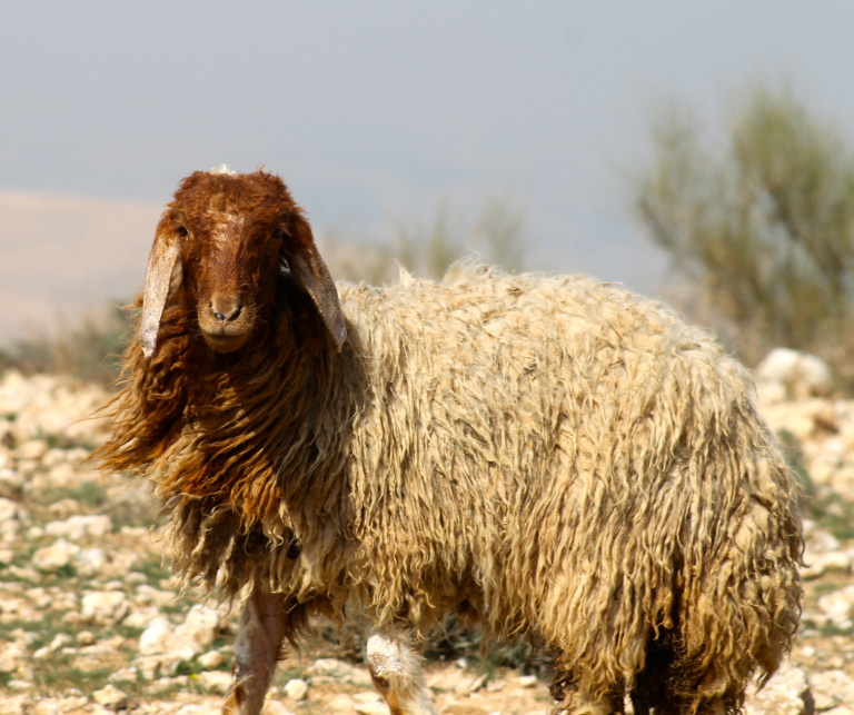Sheep grazing in spring season in the Jordanian highlands.