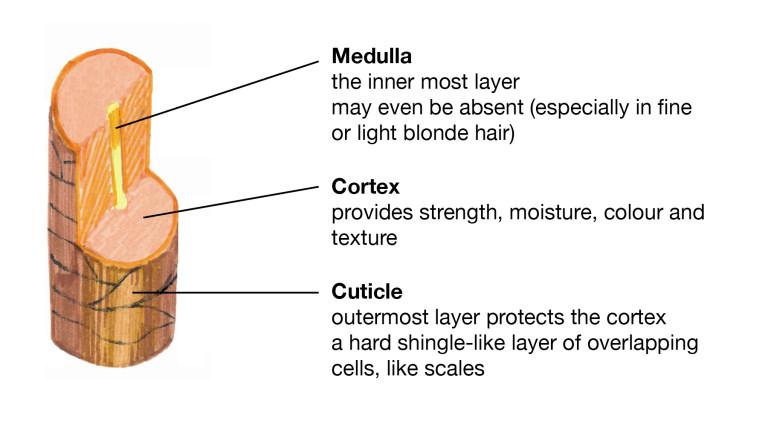 Understanding Hair Structure Lush Fresh Handmade Cosmetics Uk