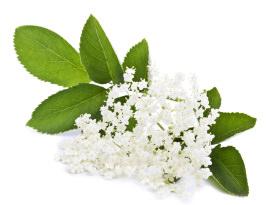 セイヨウニワトコ花