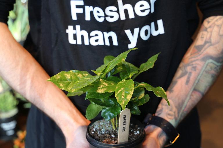 """Eine grüne Kaffeepflanze im Lush Pott angepflanzt, im Hintergrund der Spruch """"Fresher than you""""."""