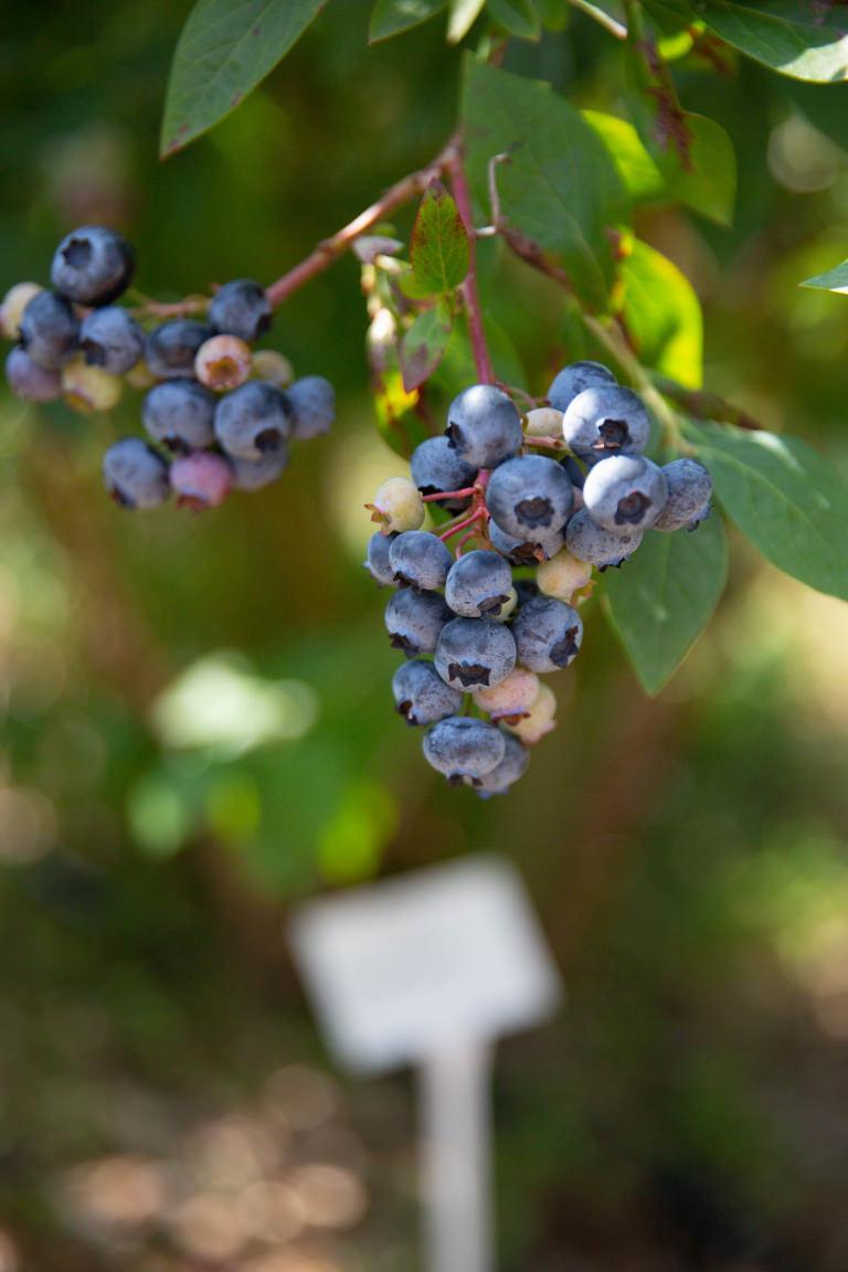Dorset Blueberry Co.