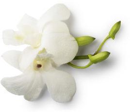 Fiore di Orchidea dei Temporali Fresca (Dendrobium) bianca