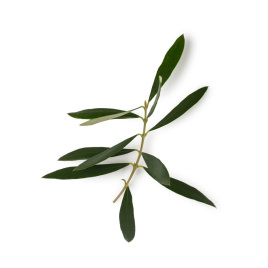 Olive leaf absolute