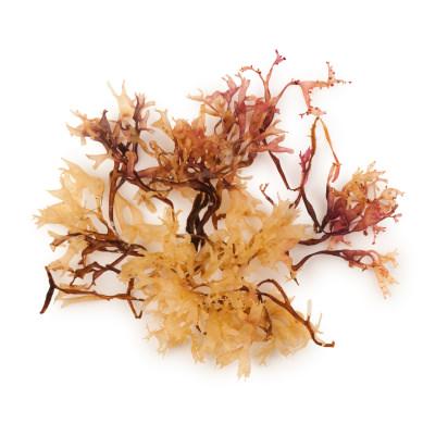 Seaweed on blank background