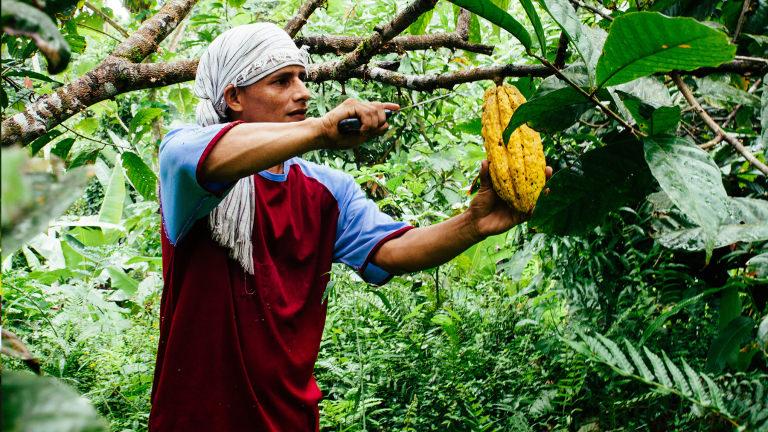 Harvesting cocoa pods