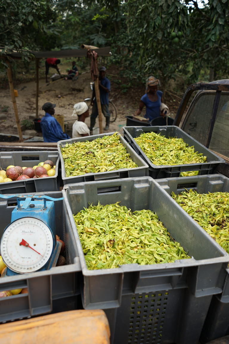 Ylang harvest