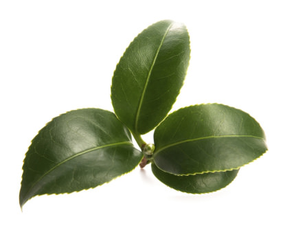 Leaves of the tea plant