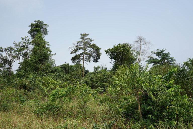 Ylang on the hillside