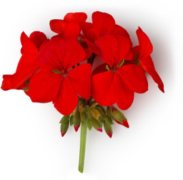 Fiore rosso di Geranio (Pelargonium graveolens)