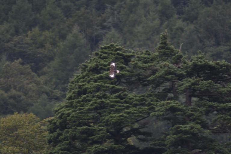 イヌワシ 日本自然保護協会