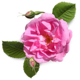 ダマスクバラ花