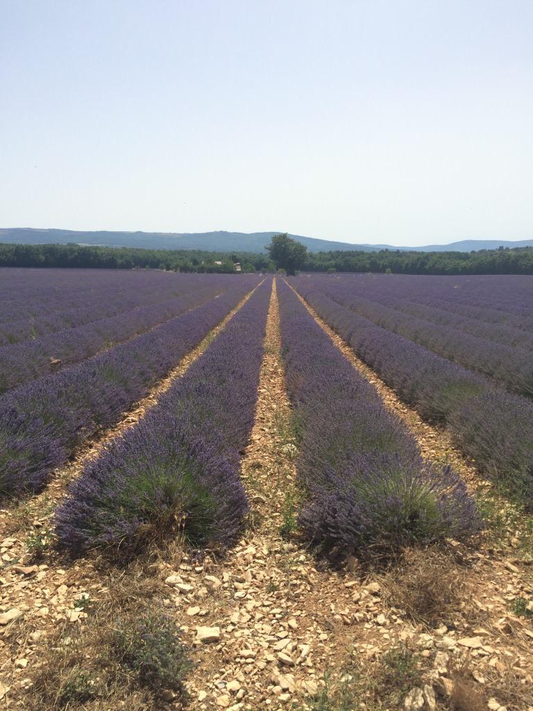 Lila lavendelblommor planterat i rader