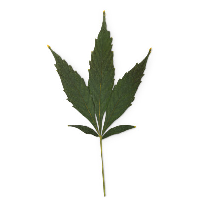 Dried hemp leaf