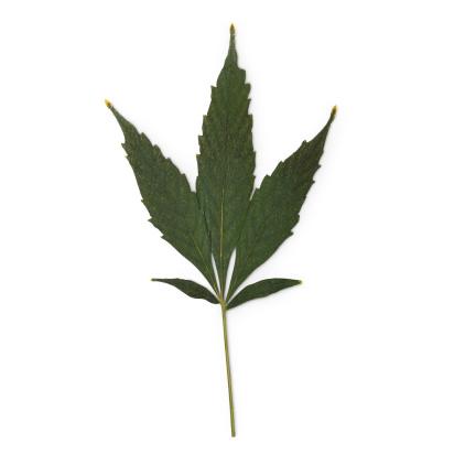 Dried hemp leaf