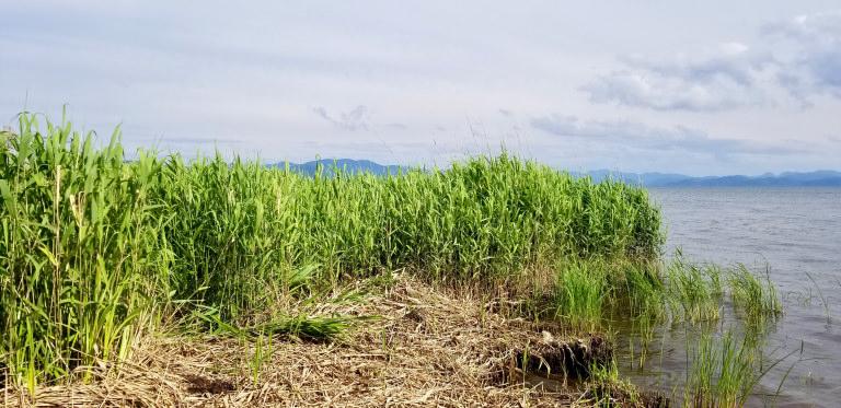 LUSH ラッシュ ヨシ 猪苗代湖 生物多様性 ハクチョウ 水質浄化