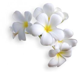 Essenza Assoluta d Frangipani (Plumeria alba)