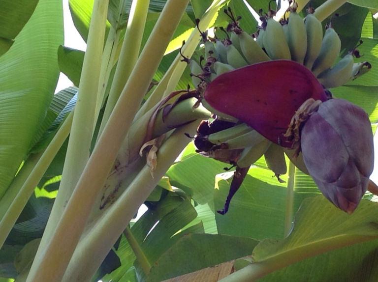 バナナペーパー バナナ