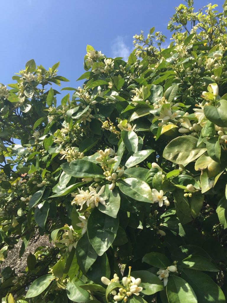 bittere sinaasappelboom