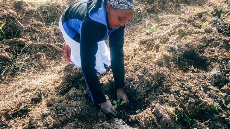Harvesting geranium oil in Kenya