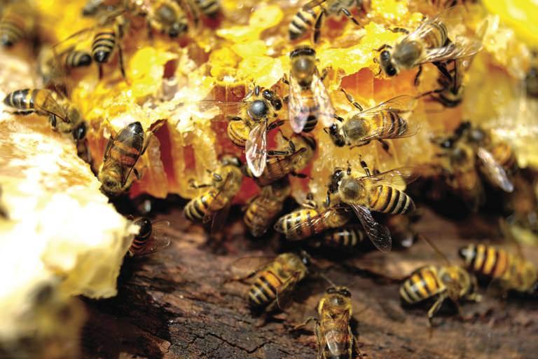 wilde honingbijen