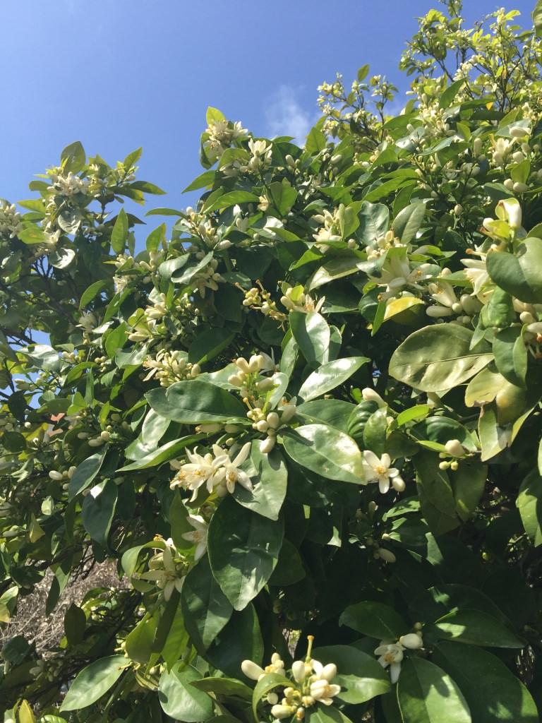 Neroli tree
