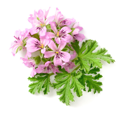 Rose geranium