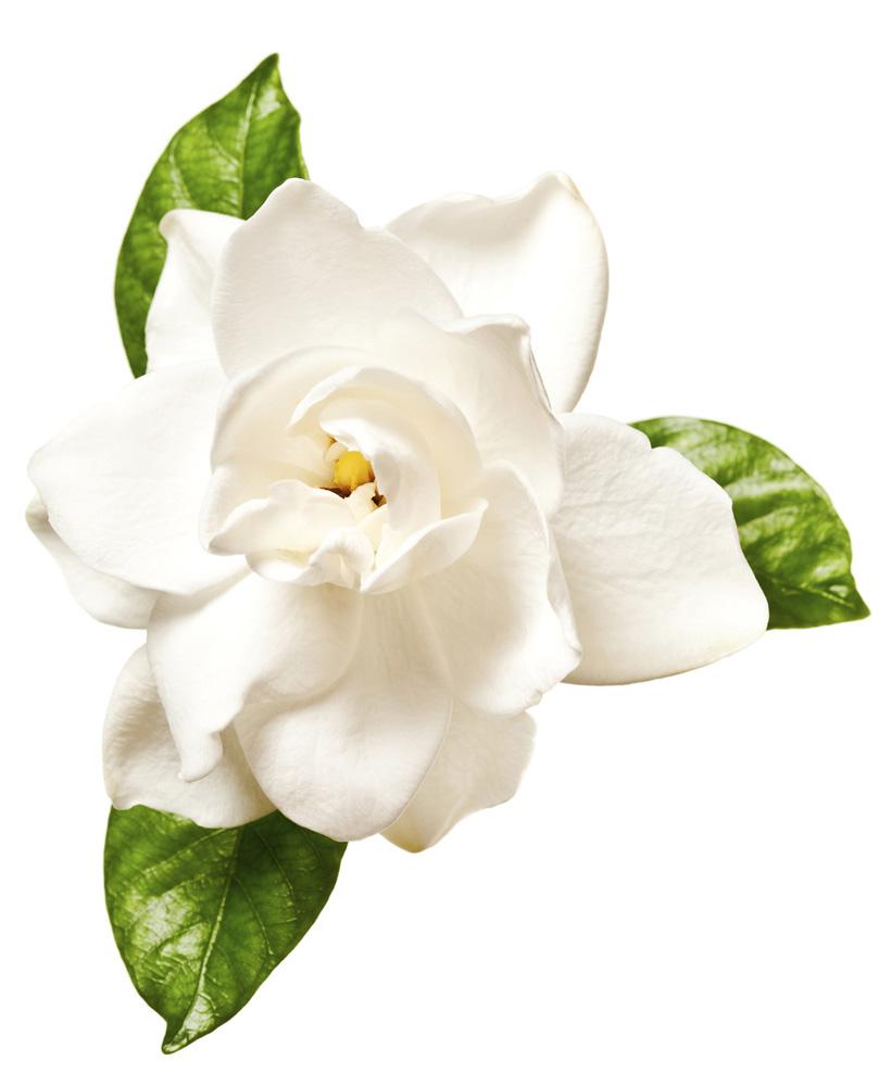 White gardenia flower