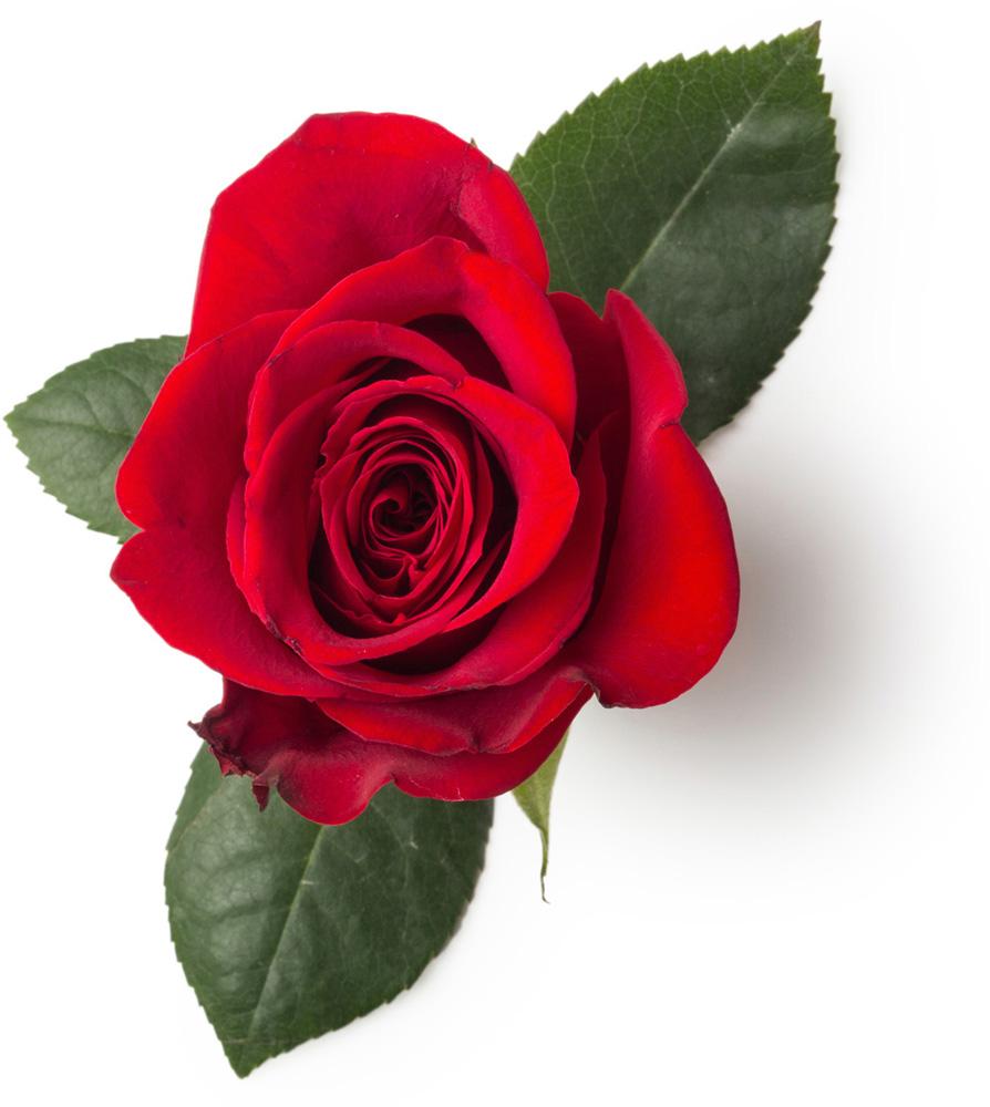 Pétalos De Rosa Roja Seca Rosa Centifolia Lush España