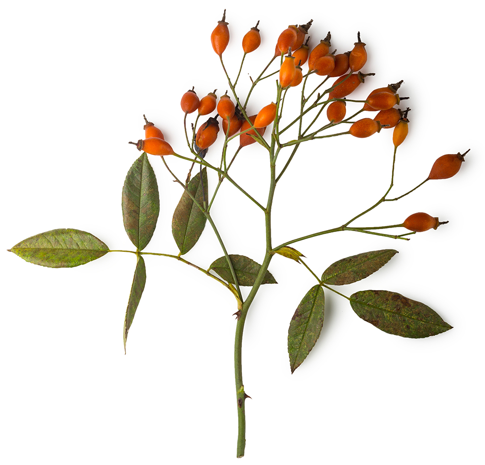 Branch of rosehips