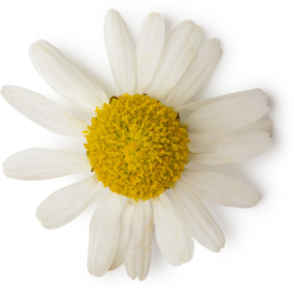 Roman chamomile oil lush fresh handmade cosmetics uk anthemis nobilis chamomile oil mightylinksfo