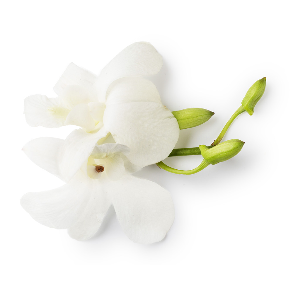 Dove Orchid