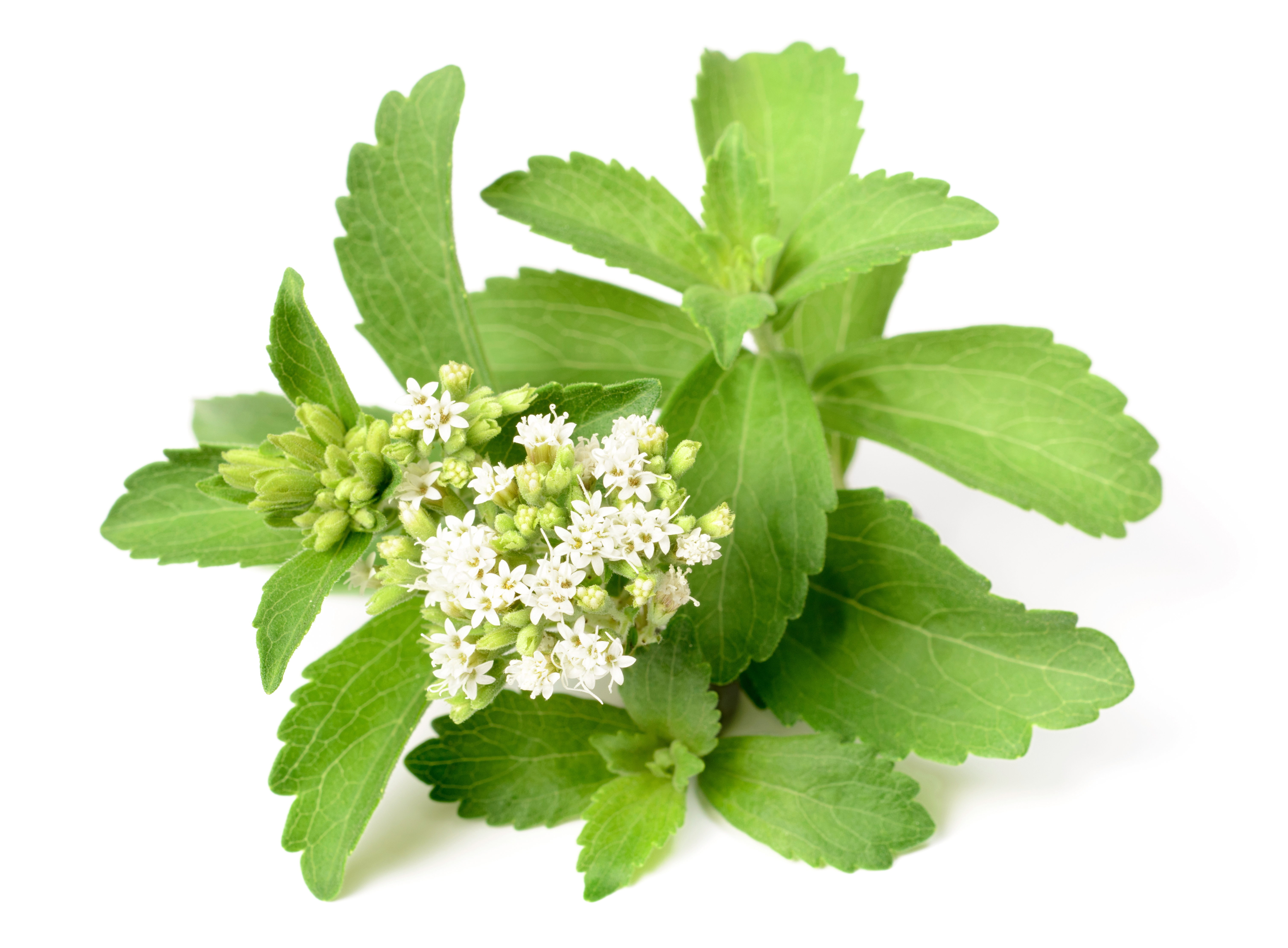Stevia | Lush Fresh Handmade Cosmetics UK