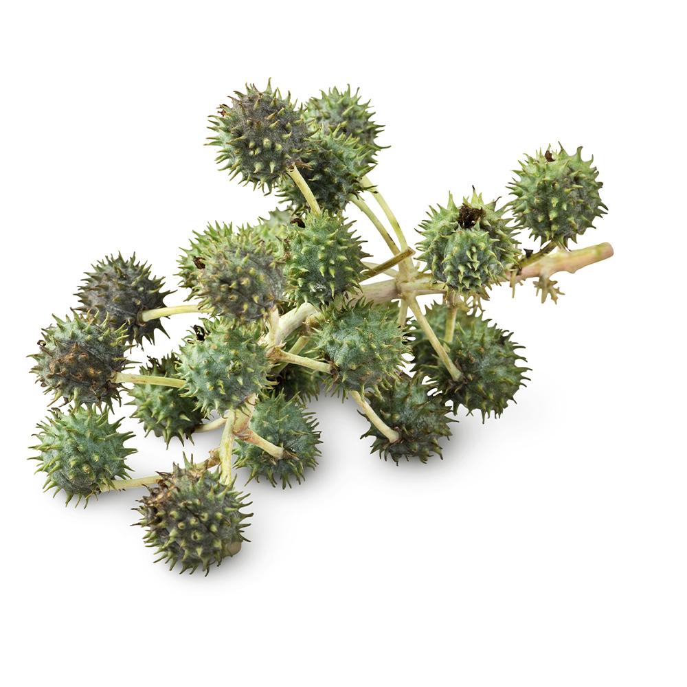 Castor shrub