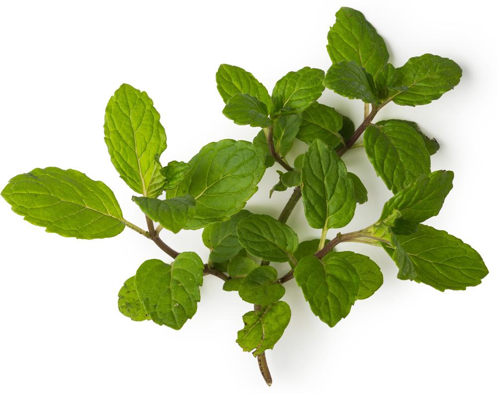 ingrédient lush - feuilles de menthe poivrée