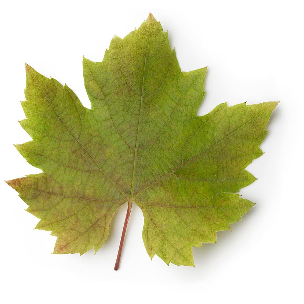 Infuso di foglie di vite