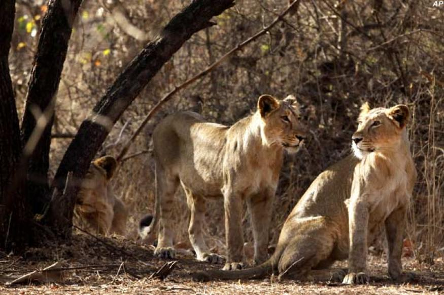 Gir Forest: The Golden Habitat of the Asiatic Lions in India | Lutalica