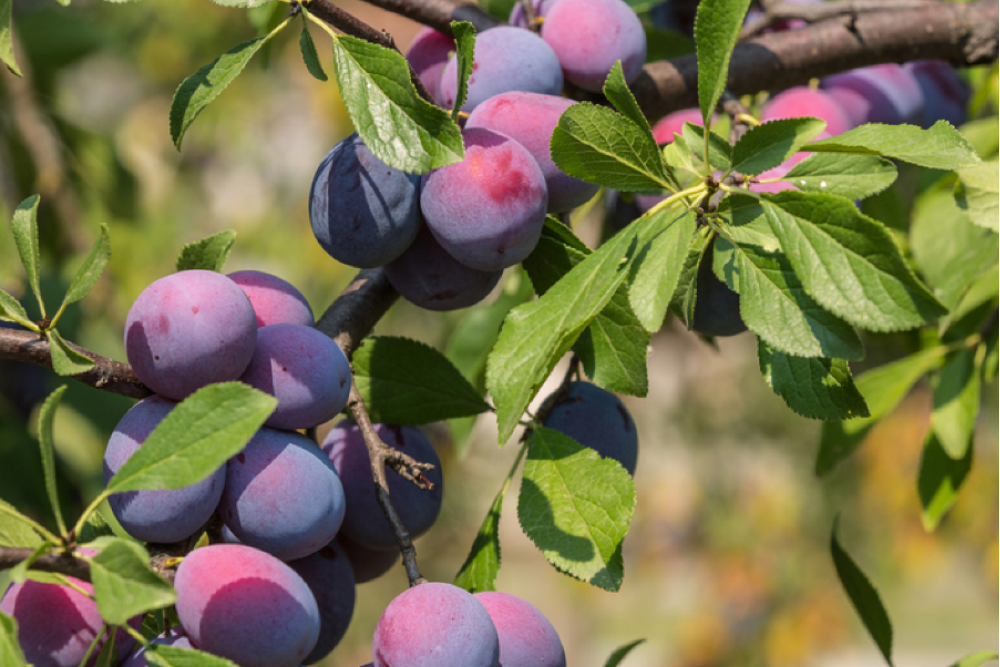 A Spring Guide to Planting Fruit Trees