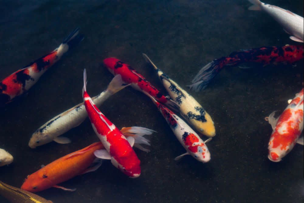 5 Good Reasons to Add a Koi Pond to Your Home