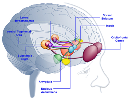 Areas of the Human Brain Activated in Response to Palatable Food or Food-Associated Cues