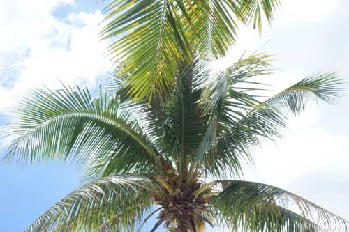 セブ島のヤシの木