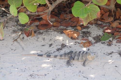 メキシコの野生のイグアナ