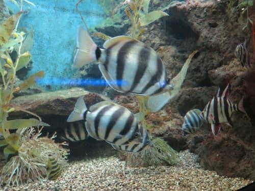 シカゴ シェッド水族館の熱帯魚