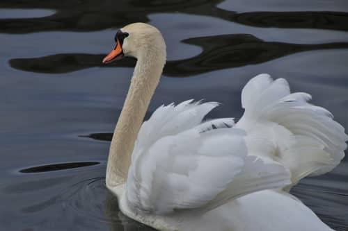 フリードリヒスハーフェンの白鳥