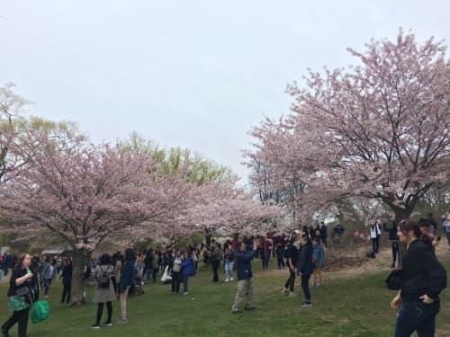 ハイパークの桜